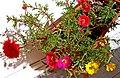 Portulaca grandiflora4.jpg