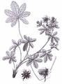 Potentilla intermedia L. - Iconographia botanica seu plantae criticae, t. 590.png