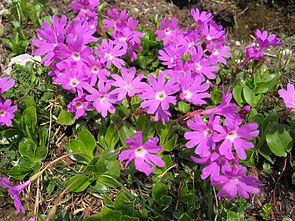 Clusius Primel (Primula clusiana)