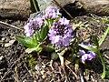 Primula denticulata 'Drumstick primula' (Primulaceae) plant.jpg