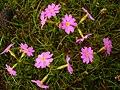 Primula farinosa khangai.jpg