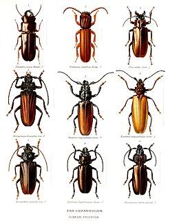 Prioninae Subfamily of beetles