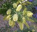 Prosopis pubescens inflorescence 2003-06-02.jpg