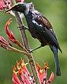 Prosthemadera novaeseelandiae -New Zealand-8 (1).jpg