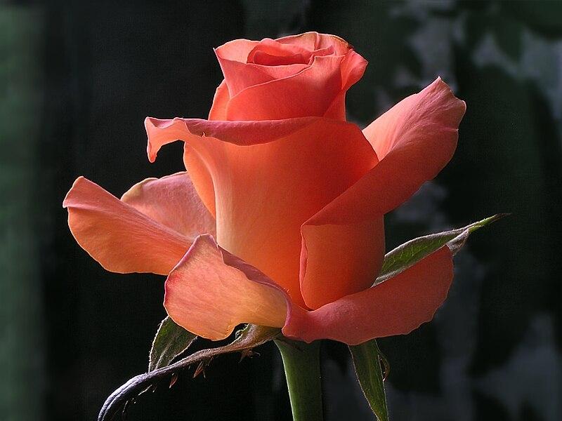 Róża szlachetna - jak uprawiać róże