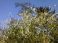 Prunier en fleurs, arbre à tarins et sapin à Grez-Doiceau 001.jpg