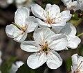 Prunus cerasus višeň obecná 1.jpg