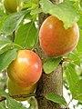 Prunus domestica. Cirolal (frutu variedá mirabel).jpg