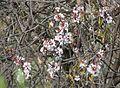 Prunus dulcis almond tree IMG 4814 tenerife chio.JPG