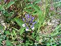 Psolarea bituminosa InflorescenceCloseup 17May2009 DehesaBoyaldePuertollano.jpg