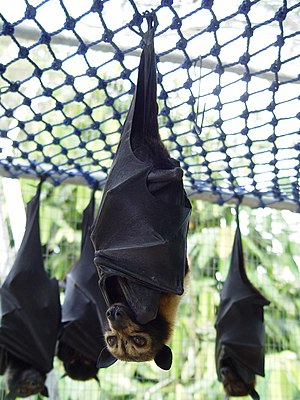 Spectacled flying fox - Image: Pteropus conspicillatus