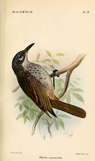 Marbled honeyeater Species of bird