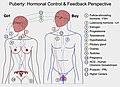 Puberty-Hormonal control.jpg