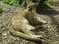 Puma zoo opole.jpg