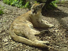 photo du puma