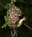 Purple-rumped Sunbird (Leptocoma zeylonica)- female at nest in Hyderabad W IMG 0297.jpg