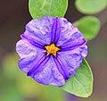 Purple Flower (3309392678).jpg