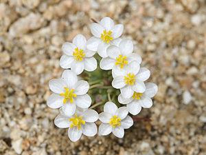 Canbya - Pygmy poppy (Canbya candida)