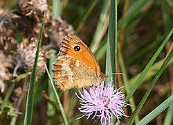 amaryllis papillon