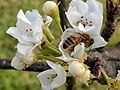 Pyrus pyrifolia (Shinko) pollinated by Apis mellifera.jpg