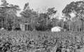 Queensland State Archives 4253 Tobacco growing at Beerburrum 1933.png