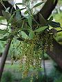 Quercus ilex1.jpg