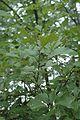 Quercus ilicifolia (24141073315).jpg