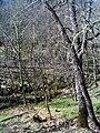 Quercus pyrenaica Habitat FuentedelAlmirez 2010-4-02 SierraMadrona.jpg