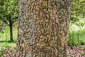 Quercus rugosa in Hackfalls Arboretum (1).jpg