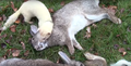 Rabbit Hunting with NightHunterWhippets|Ferreting UK|Rabbit Pest Control 3.png