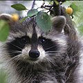 Raccoon (5920420450).jpg