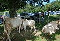 Race bovine lourdaise Barlongue 2015 1.JPG
