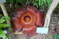 Rafflesia arnoldii - Food and Agriculture Museum - Setagaya, Tokyo, Japan - DSC09906.jpg