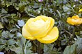 Ranunculus Persian Buttercup 1zz.jpg