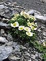 Ranunculus seguieri.jpg