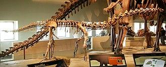 Rapetosaurus - Field Museum mount in side view