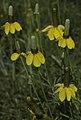 Ratibida columnifera var. columnifera (1).jpg