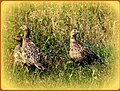 Rebhühner bei Sonnschied - panoramio.jpg