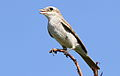 Red-backed shrike, Lanius collurio at at Pilanesberg National Park, Northwest Province, South Africa - female (16814296527).jpg