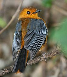 Red-capped Robin-Chat (Cossypha natalensis).jpg