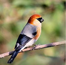 Red-headed Bullfinch.jpg