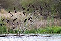 Red-winged blackbird (46817990321).jpg
