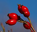 Red Berries (8210561809).jpg