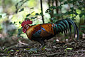 Red Junglefowl.jpg