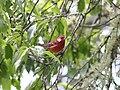 Red Warbler, Oaxaca 1.jpg