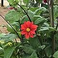 Red beauty of Ooty.jpg