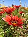 Red flower in Tlemcen.jpg