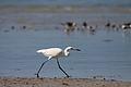 Reddish Egret (White Morph) (5821318794).jpg