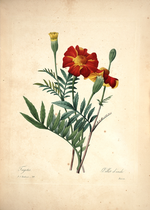 Redouté, P.J., Choix des plus belles fleurs et des plus beaux fruits, t. 99 (1827).png