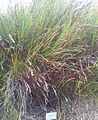 Restio dispar - Kirstenbosch.jpg